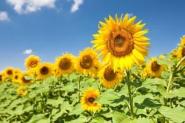 stockvault-sunflowers136114 (1)